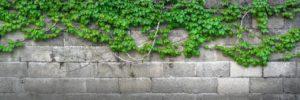 צמח מטפס