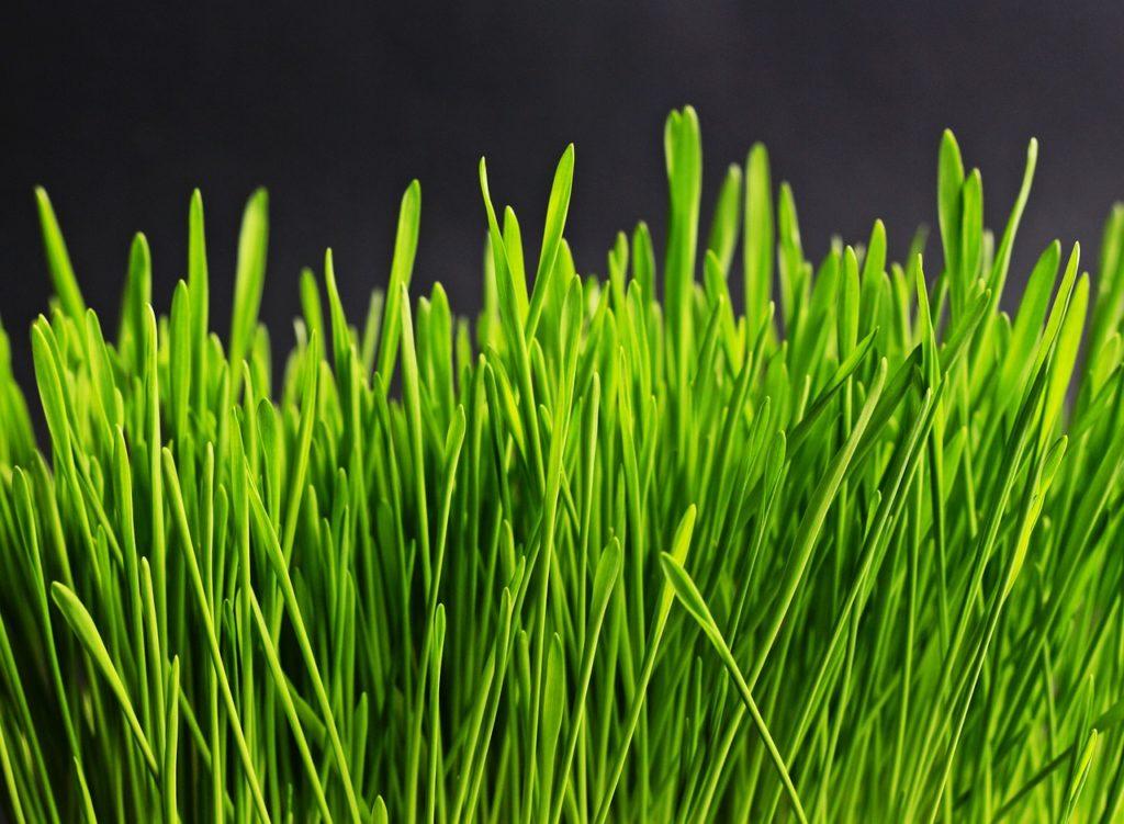 דשא גבוה